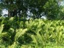 Папаротники все еще зеленые